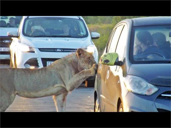 watch terrifying moment lion opens car door with its teeth
