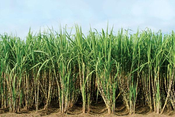 govt approves rs 5 5 per quintal subsidy for sugarcane farmers