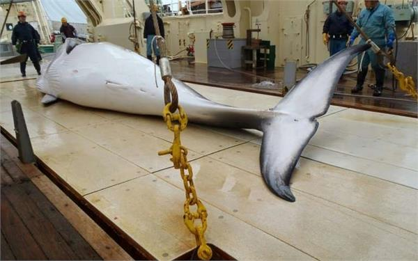 japan 122 pregnant mink whales killed in hunting tour
