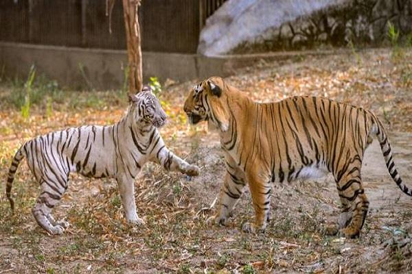 marriage of two tigers after 27 years