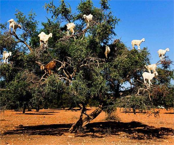 these tree climbing goats spread seeds by spitting