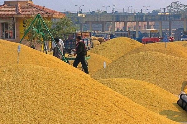 total 122 76 lakh tonnes of wheat arrived mandis punjab till yesterday