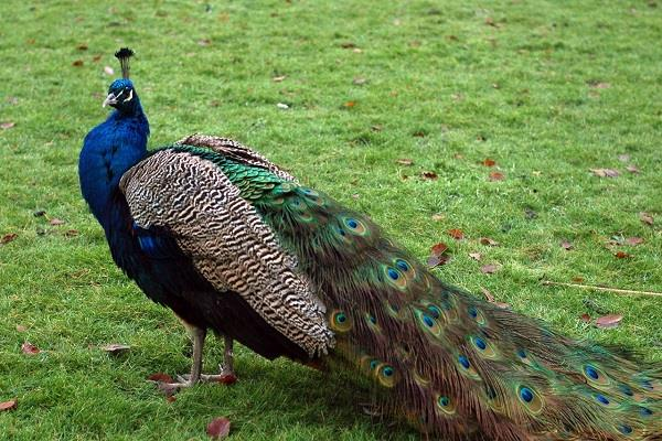 five peacocks die in sariska area of alwar