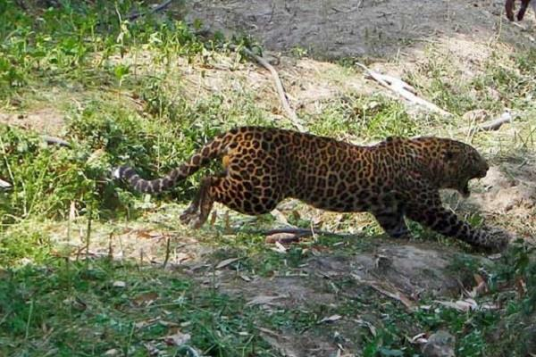 mother safe her child for leopard