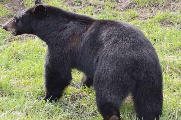 bear attack on couple death of woman