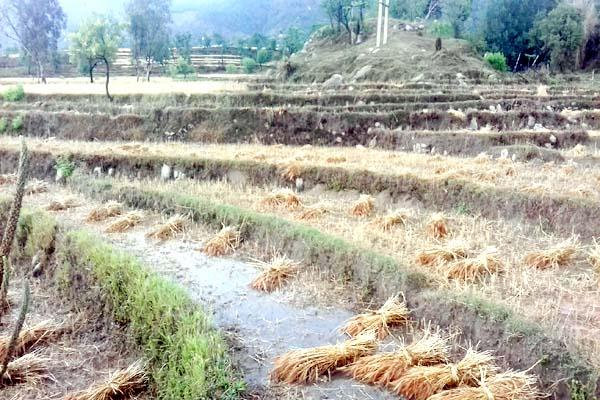 heavy rain destroy the crop of wheat