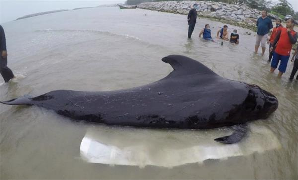 thailand whale dies of 80 packets of plastic