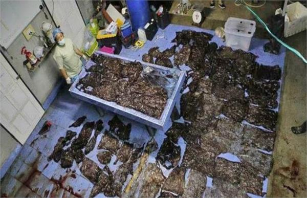 plastic bags jam stomach of dead pilot whale in thailand