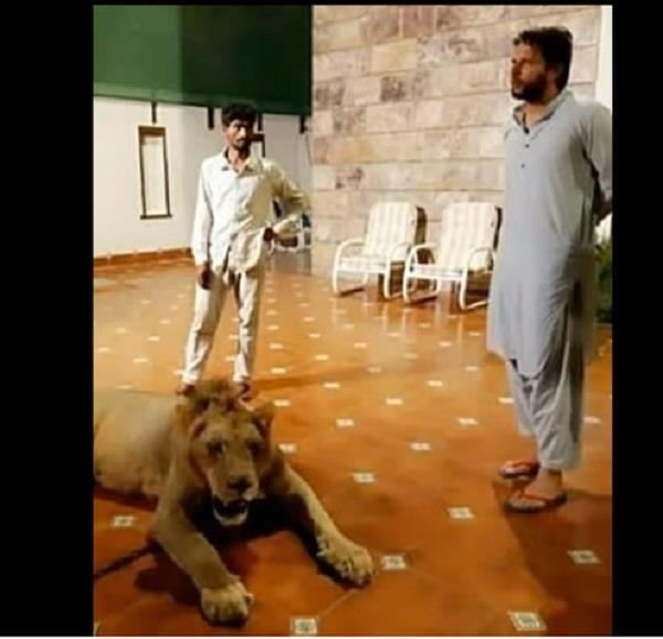 pak cricketer shahid aridi with a lion cub in a controversial video