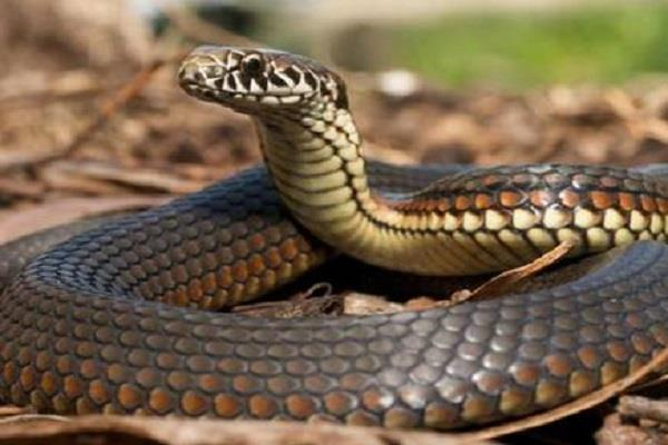 after the neck cutting the snake will sting it will surprise you