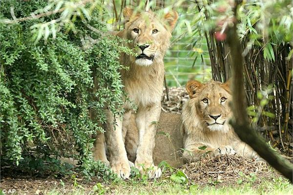 lions and leopards ran away from the german zoo