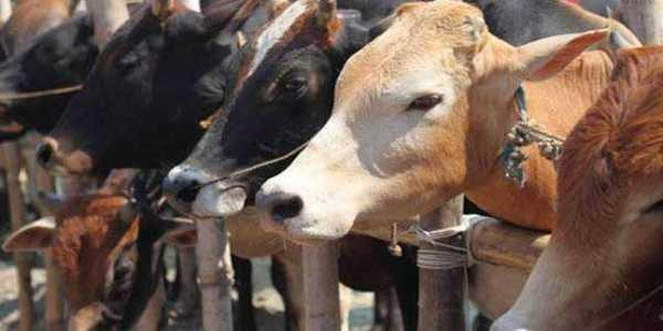 nepalese man sentenced to 12 years for slaughtering cows