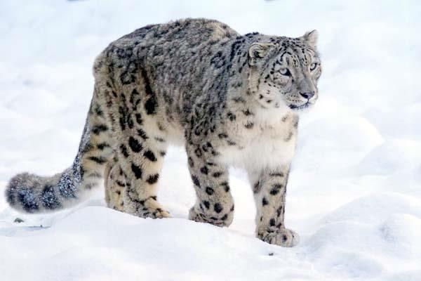 snow leopard on the lower hills record in trapp cameras of forest department