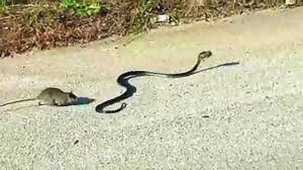 rat fights snake in intense video the end may leave you surprised