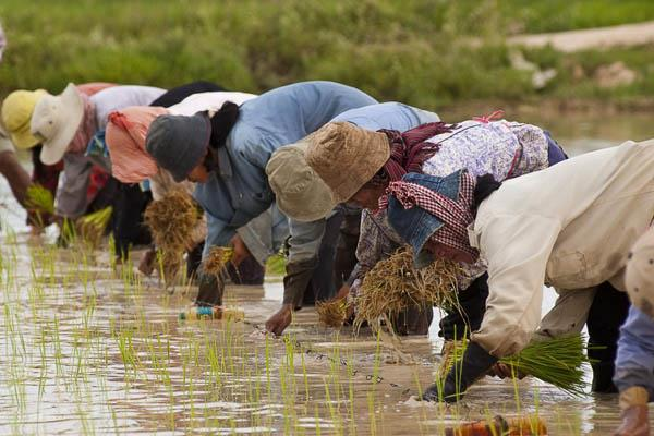 govt may hike paddy msp by rs 200 qtl