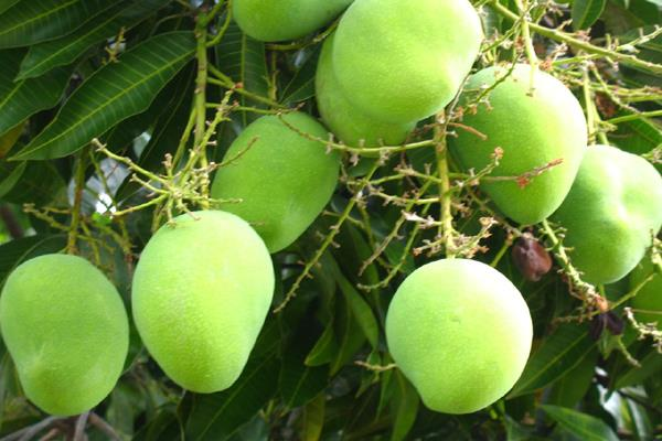 karnataka announces support price for farmers of common fruit