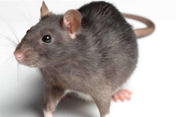 mice rampage in municipal cabins