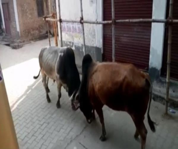 a fight between two bulls one person injured