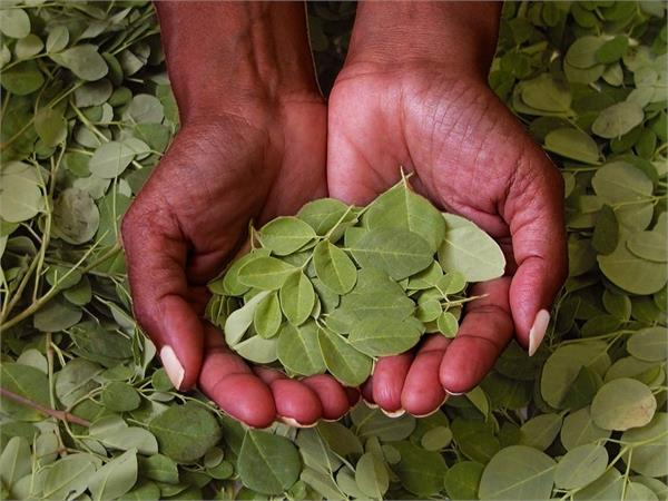 amazing benefits of moringa plant