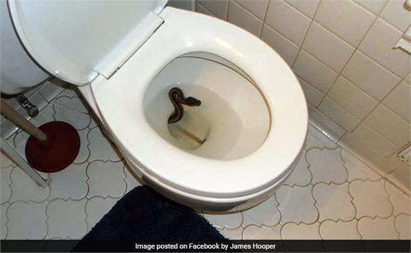 man finds python inside toilet bowl