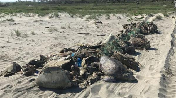 endangered 300 turtles of species found on the coast of mexico