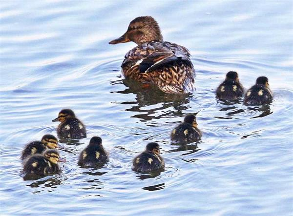 featuring floating in a row behind the duck 76 baby ducks photo viral