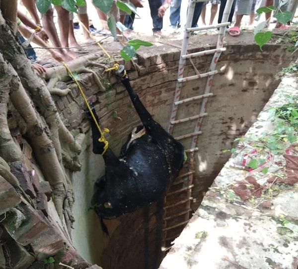 a pregnant cow washed out in the well