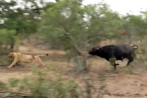 wild and amazing news buffalo turns tables on herd hunting lioness