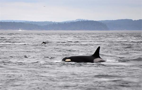 mother s love the 17 year old whale roaming around her dead child