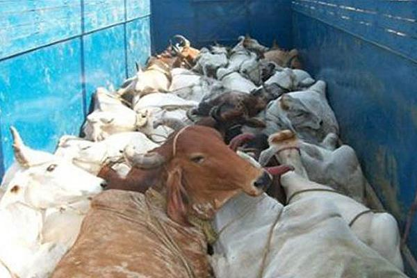 smugglers were taking the cows with intense injections