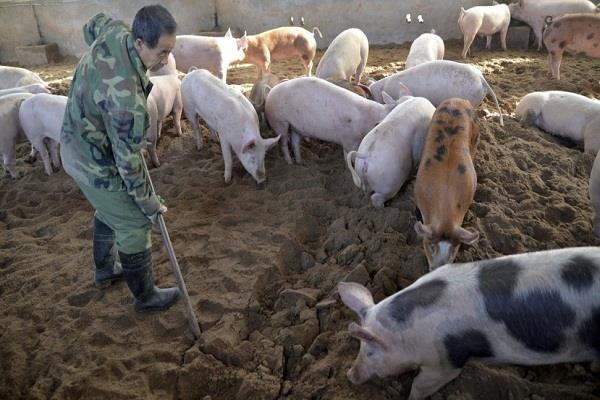 due to the african swine fever thousands of pigs were killed in china