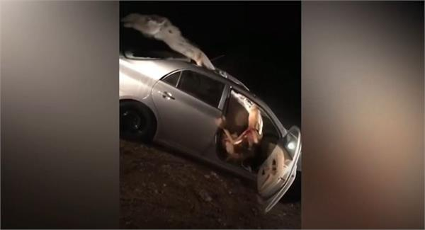 horrible live accident of car  camel goes viral