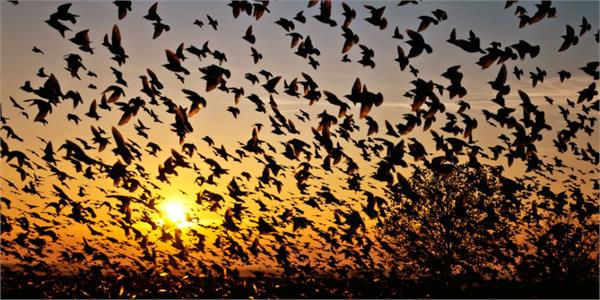 drone can be used to herds away birds from airspace