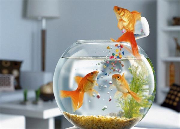Vastu Tip: घर के किस कोने में रखें एक्वेरियम, कितनी होनी चाहिए मछलियां ?- Nari