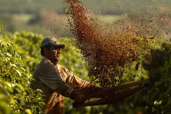 heavy rains in karnataka likely to decrease coffee production