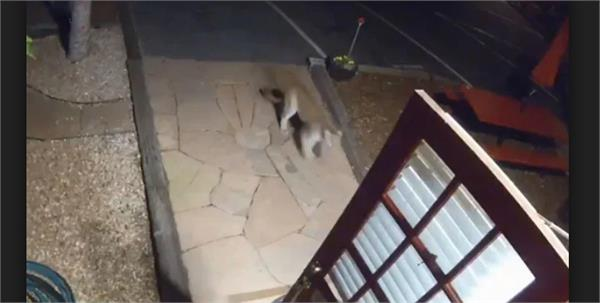 mountain lion walks into colorado motel
