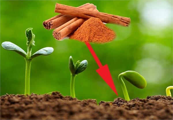 बगीचे में लगाएं यह एक पौधा, मक्खी-मच्छर का नहीं रहेगा नामोनिशान