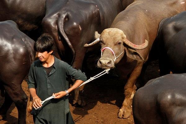 pak govt to auction 8 buffaloes of nawaz sharif