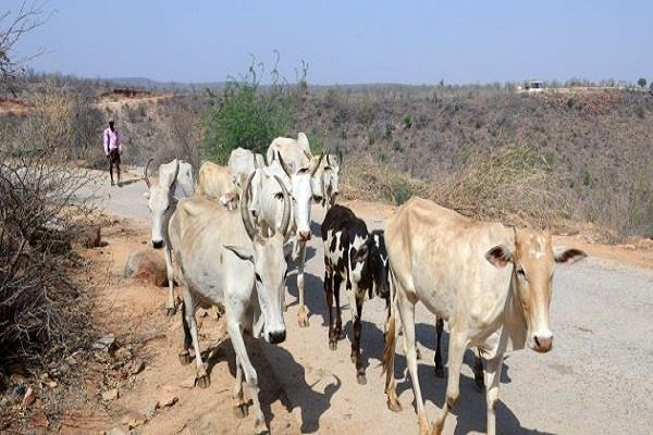 cow attack on bjp mp broken ribs