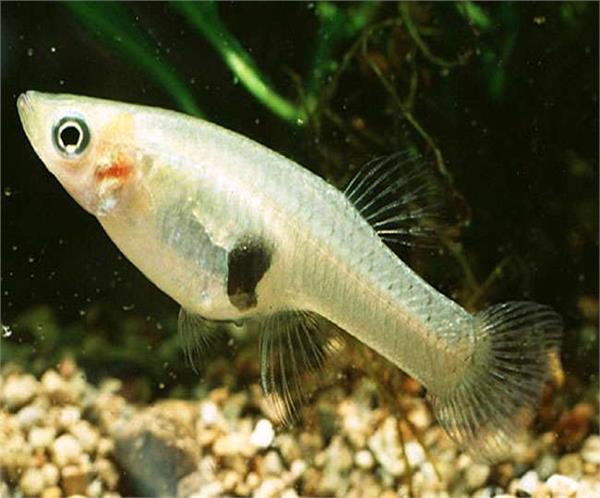 lakhimpur kheeri two and a half centimeter fish dengue malaria