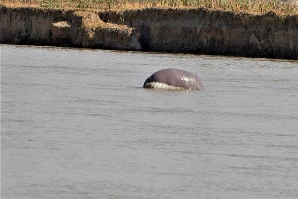 2 large and one small dolphin seen during the survey in beas darya