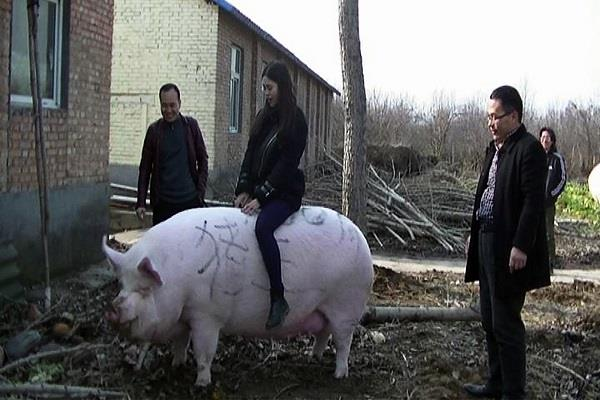 china big size pigs 500 kg china zhengzhou cities henan province hailin