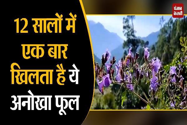 neelakurinji flowers in the mountains of uttarkashi