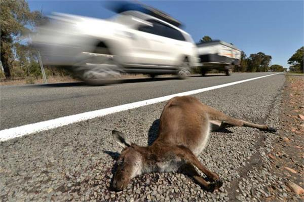 australian teenager kills car on kangaroos kills 20