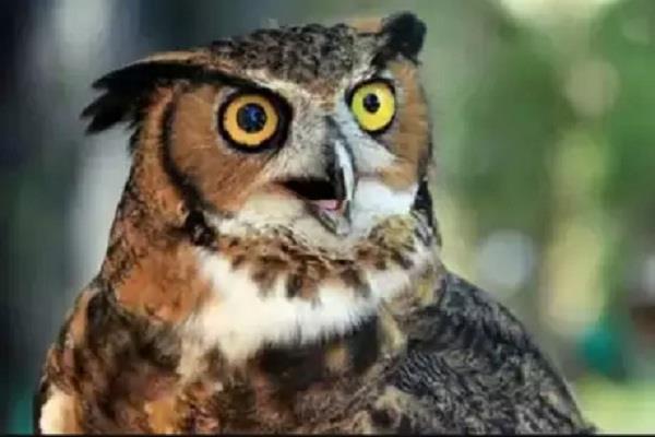 dangers hover over owls in deepawali
