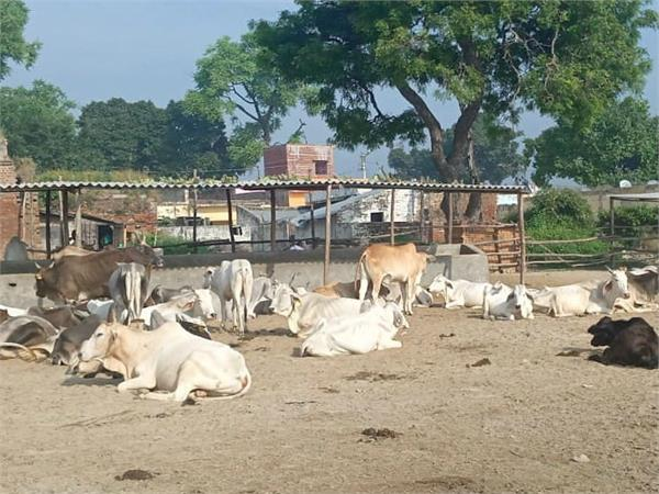 stimulation in administration due to simultaneous death of 25 cow