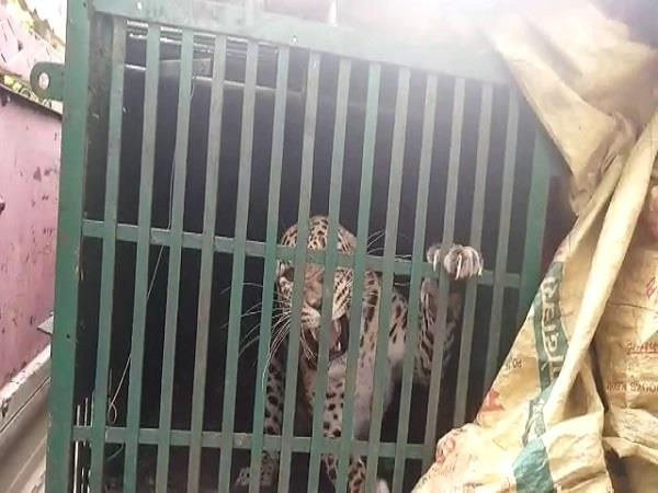 forest department team caught leopard