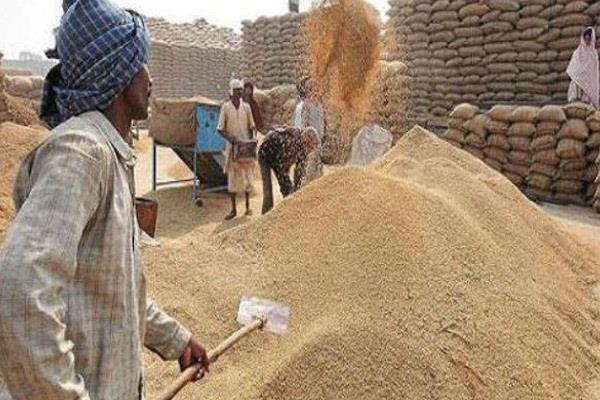 over 5 lakh tonnes of paddy arrived in punjab mandis