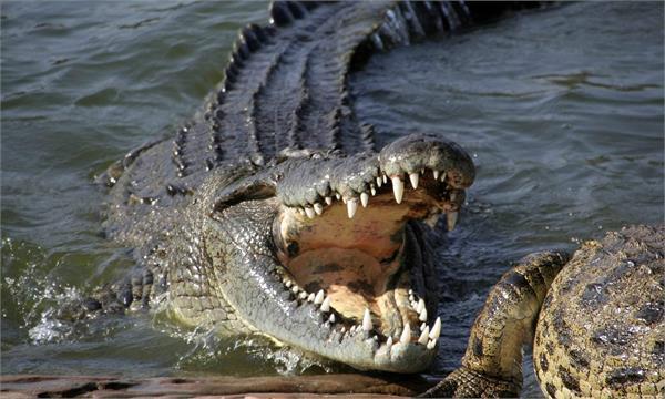 zimbabwean schoolgirl wrestles large crocodile to rescue her friend