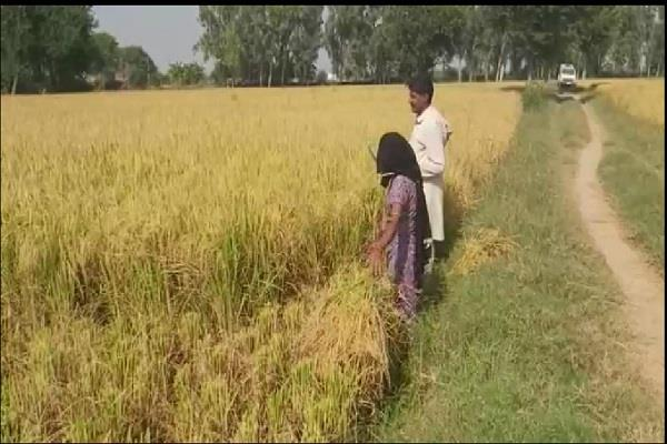 farmers disappointed before deepawali paddy production drastically declines
